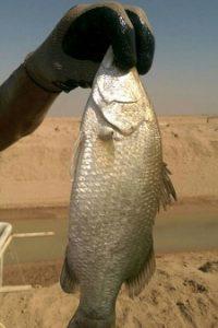 ماهی سی بس